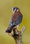 American Kestrel on tree limb, Central Pennsylvania, United States.  Controlled situation