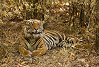 Bengal Tiger resting on forest floor, Bandhavgarh National Park, India