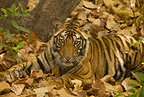 Bengal Tiger, adolescent cub in forest, Bandhavgarh National Park, India
