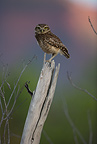 Burrowing Owl on dead tree, Cerrado, Brazil, South America