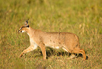 Caracal walking in grass, Lower Mara, Masai Mara Game Reserve, Kenya, Africa