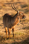 Common Waterbuck male grazing, Moremi Game Reserve, Botswana, Africa