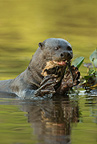 Giant River Otter eating fish, Matto Grosso, Pantanal, Brazil, South America
