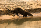Giant River Otter playing along riverbank, Matto Grosso, Pantanal, Brazil, South America