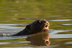 Giant River Otter swimming in river, Matto Grosso, Pantanal, Brazil, South America