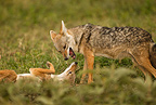 Golden Jackal, Ndutu area of Ngorongoro Conservation Area, nr Serengeti National Park, Tanzania, Africa