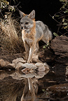 Gray Fox at a waterhole at night, Southern Arizona, United States