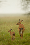 Impala mother with baby in the rain, Lake Nakur National Park, Kenya