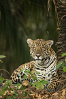 Jaguar along river, Pantanal, Brazil, South America