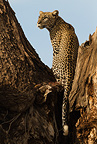African Leopard sitting in tree, Samburu Game Reserve, Kenya, Africa