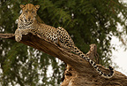 African Leopard lying in tree, Samburu Game Reserve, Kenya, Africa