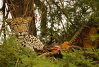 African Leopard in tree with kill, Samburu Game Reserve, Kenya, Africa