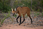 Maned Wolf walking on trail, Cerrado, Brazil, South America