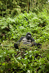 Mountain Gorilla, Agashya Group, in the vegetation of Volcanos National Park, Rwanda, Africa