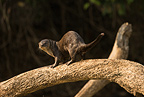 Neotropical River/Otter along riverbank, Matto Grosso, Pantanal, Brazil, South America