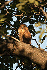 Pel's Fishing Owl roosting in tree, Moremi Camp, Dead Tree Island, Okavango Delta