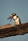 Pied Kingfisher eating fish on branch, Moremi Game Reserve, Botswana, Africa