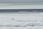 Polar Bear walking across ice, Svalbard, Norway,