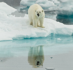 Polar Bear alert, Svalbard, Norway
