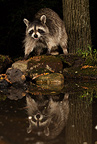 Raccoon feeding along a pond, Central Pennsylvania, United States