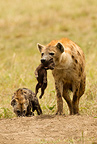 Spotted Hyena carrying young, Masai Mara Game Reserve, Kenya, Africa