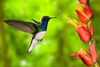 White-necked Jacobin sugarfeeding and nectar-feeding, flying, Costa Rica, Central America