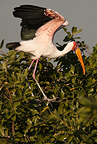 Yellow-billed Stork, Moremi Game Reserve, Botswana, Africa