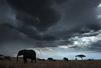 Elephants and storm clouds, Tanzania