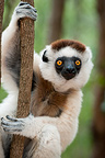 Male Verreaux's Sifaka, Kirindy Forest, western Madagascar