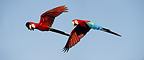 Pair of Red-and-Green (Green-winged) Macaws in flight, Chapada dos Guimaraes, Brazil