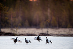 Black Grouse, two pairs of males fighting on frozen lake at sunrise. April 2012, Kuhmo, Finland