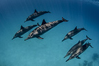 A school of common dolphins, Egypt
