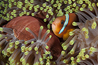 Red sea anemonefish, Sudan