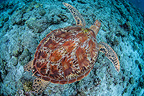 Green sea turtle, Palau