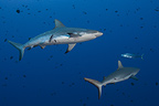 Grey reef sharks hurt by mating