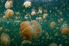 Golden Jellyfish near the surface in Jellyfish lake Palau