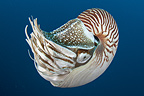 Deep sea creature, Nautilus, Palau