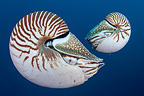 Pair of Nautilus, Palau