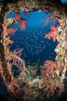 An old wreck window covered by soft corals, Egypt