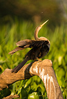 Anhinga preening or drying wings, Matto Grosso, Pantanal, Brazil, South America