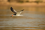 Black Skimmer along river, Pantanal, Brazil, South America