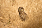 Burrowing Owl in grass, Cerrado, Brazil, South America