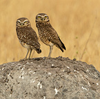 Burrowing Owl at nest hole, Cerrado, Brazil, South America (8/12)