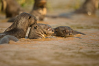 Giant River Otter, Pteronura brasiliensis, adult with young, swimming in river,  Matto Grosso, Pantanal, Brazil, South America