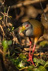 Gray-necked Wood Rail foraging along river, Pantanal National Park, Brazil, South America