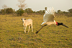 Jabiru Stork in flight, Matto Grosso, Pantanal, Brazil, South America