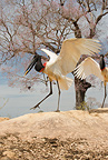 Jabiru Stork courtship display, Matto Grosso, Pantanal, Brazil, South America