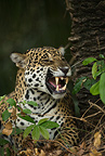 Jaguar male following female for mating, along river, Pantanal, Brazil, South America