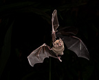 Pallas's Long-tongued Bat nectar feeding, Costa Rica, Central America, controlled situation