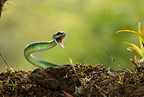 Satiny Parrot Snake, arboreal viper, controlled situation, Arenal Volcano, Costa Rica, Central America